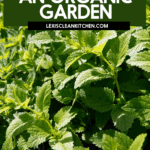 How to start an organic garden guide for Pinterest with fresh mint leaves