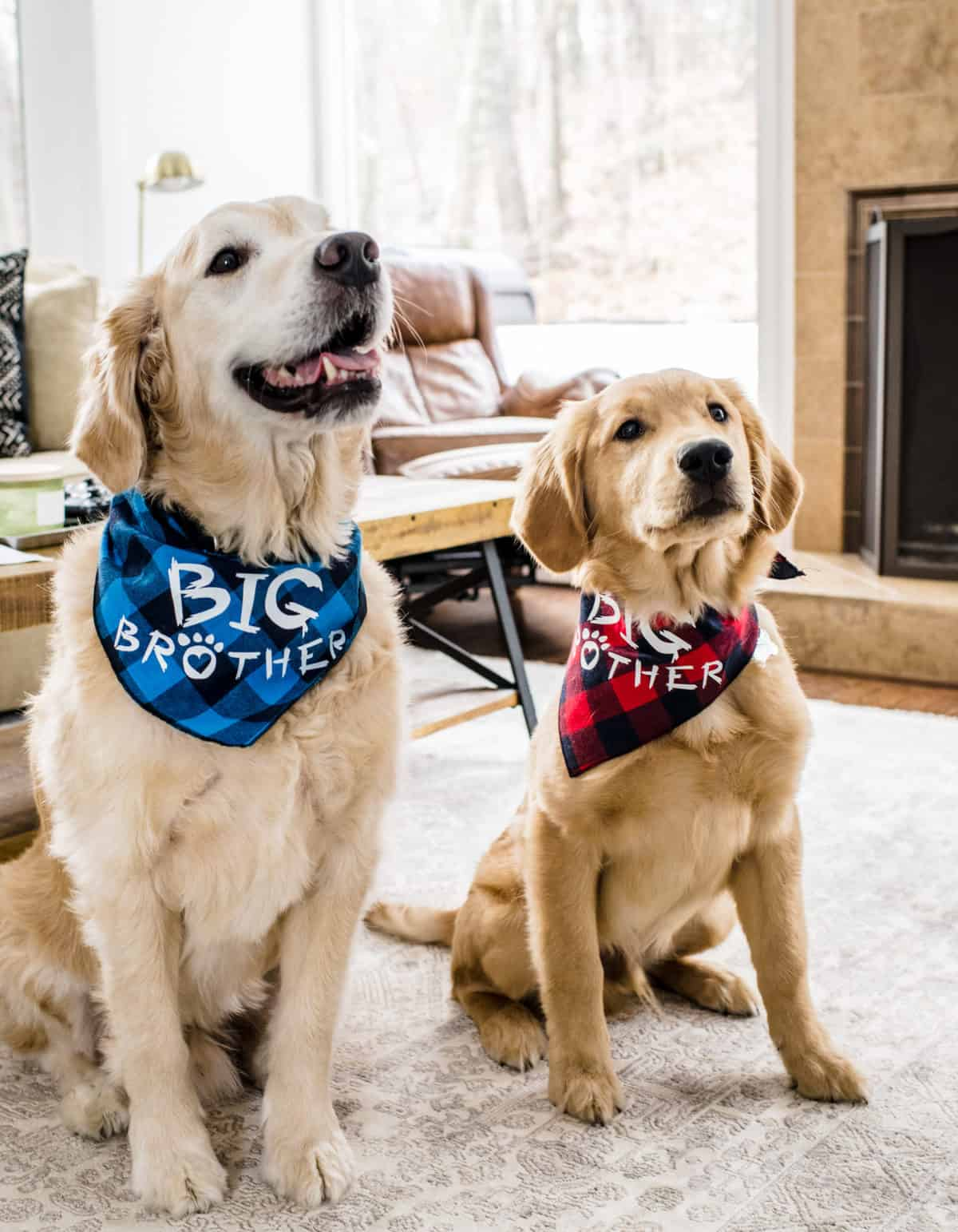 Two dogs who have pet insurance sitting together with bandanas on.
